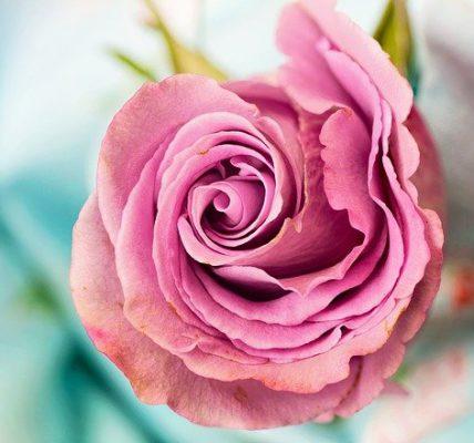 perfumy różane